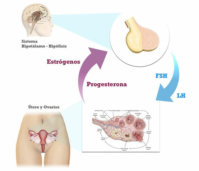 Sistema endocrino de la mujer