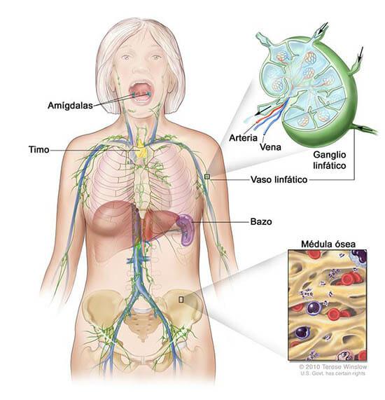 Funcionamiento del sistema linfático