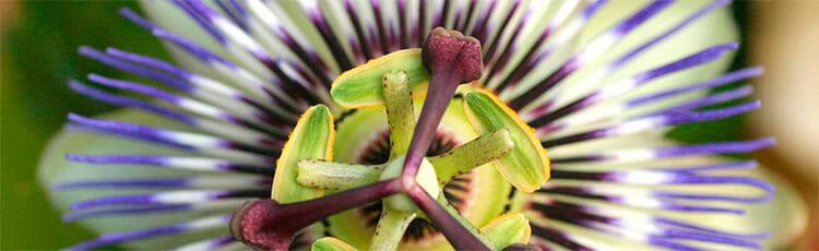 Pasiflora como relajante muscular