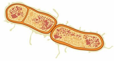 Clostridium botulinum: agente causal del botulismo