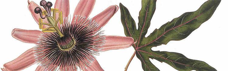 Ilustración de la pasiflora
