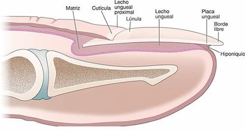 Aparato ungueal y onicogrifosis