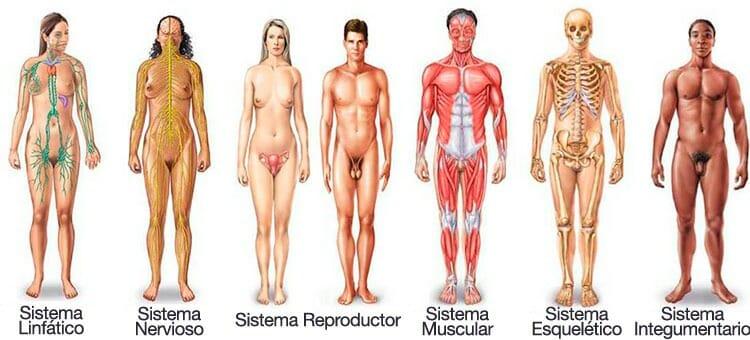 Sistemas del Cuerpo Humano Funciones y Aparatos