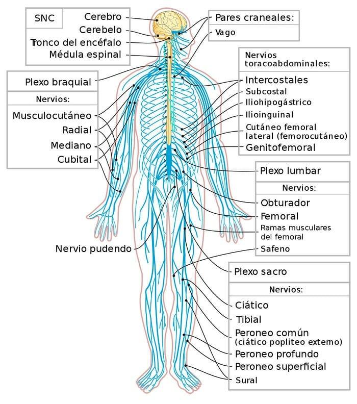 Partes del sistema nervioso periférico