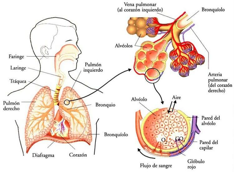 Respiración pulmonar y sistema respiratorio
