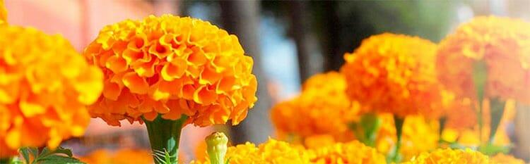 Flor de los muertos