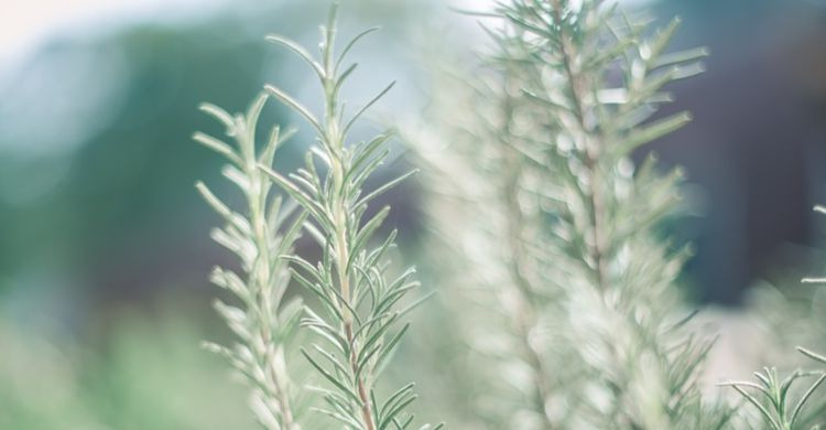 Remedio casero para la alergia con salvia, romero y ortiga