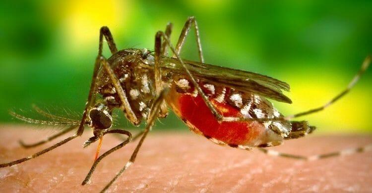 Citronela como repelente antimosquitos