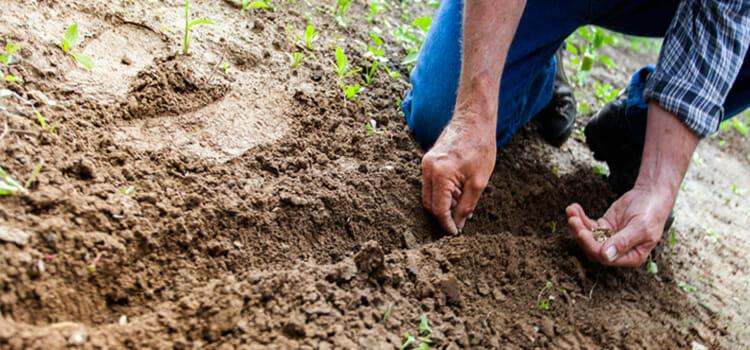 Cultivar altramuces