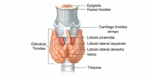 Qué es la glándula tiroides