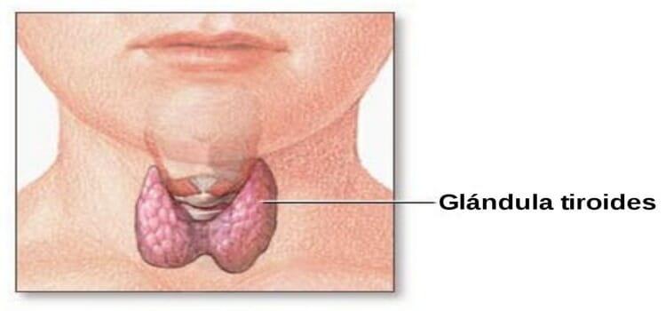 Dónde se encuentra la glándula tiroides