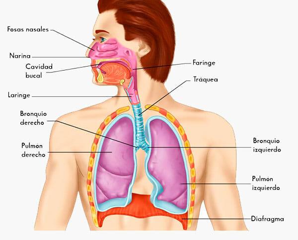 Sistema respiratorio: partes y anatomía