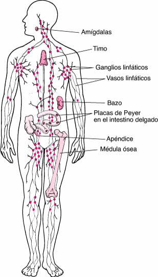 Esquema del sistema linfático (ganglios)