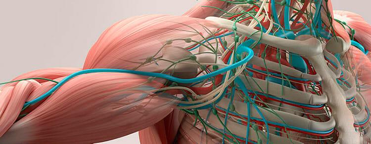 Importancia del sistema muscular