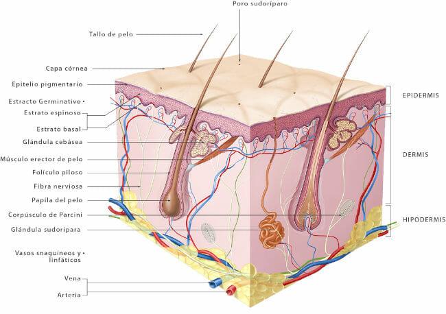 Partes del sistema tegumentario