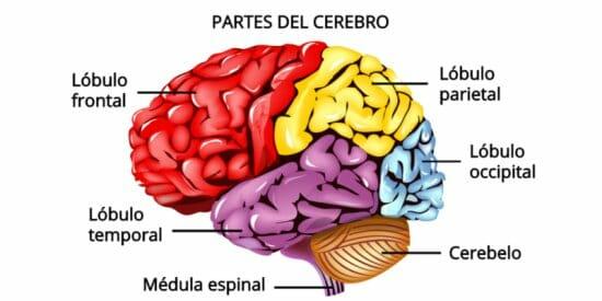 Partes y regiones del cerebro